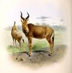 The book of antelopes (1894) Bubalis busephalus.png