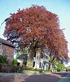 The majestic red beeches in the garden of this villa dominate the streetview at 3 May 2013 - panoramio.jpg