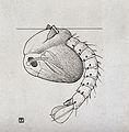 The pupa of a mosquito (Anopheles maculipennis). Reproductio Wellcome V0022598.jpg