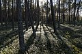 The red bilberry in the sun. Брусничник в солнечных лучах. - panoramio.jpg