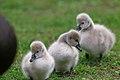 Three cygnets, first arrivals at Lake Wendouree, Ballarat, Victoria, Australia (29064292224).jpg