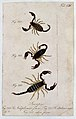 Three scorpions; a female Scorpio naupliensis and a male and Wellcome V0022396ER.jpg