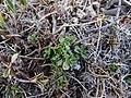 Thym faux pouliot (Thymus pulegioides) Mont Aigoual.jpg