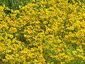 Tickseed sunflowers (30193749621).jpg