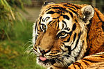 Tiger - Shepreth Wildlife Park (25216392741).jpg
