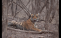 Tiger in Ranthambore 20.png