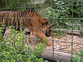 Tigers in ZooParc de Beauval 5.JPG