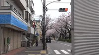 Файл:Time-lapse of cherry tree blossoms in Japan.webm