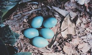 Solitary tinamou - Solitary tinamou eggs in nest