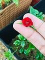 Tiny red.jpg