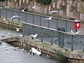 Tiverton , River Exe, Seagulls, Ducks and Swans - geograph.org.uk - 1601886.jpg