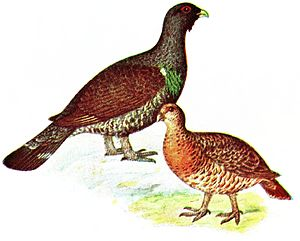 Western capercaillie - Male and female