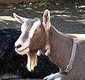 Toggenburg goat.jpg
