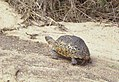 Tortoise (208372267).jpg