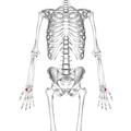 Trapezium bone 01 palmar view.png