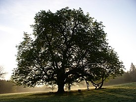 Tree in Dun na Rí Forest Park, near Kingscourt, Co. Cavan - geograph.org.uk - 995732.jpg