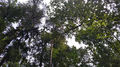 Tree tops in the Arboretum. Horki, Belarus.png