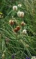 Trifolium montanum 1.jpg