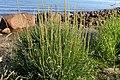 Triglochin maritimum plant (29).jpg