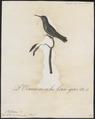 Trochilus rubineus - 1802 - Print - Iconographia Zoologica - Special Collections University of Amsterdam - UBA01 IZ19100333.tif