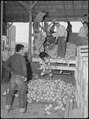 Tule Lake Relocation Center, Newell, California. A truck load of turnips from the field, being unlo . . . - NARA - 538366.tif
