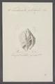 Turbinella globulus - - Print - Iconographia Zoologica - Special Collections University of Amsterdam - UBAINV0274 084 04 0020.tif