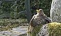 Turdus merula - Amsel ♀.jpg