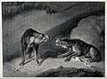Two wolves snarling at each other over a bone. Etching after Wellcome V0021608.jpg