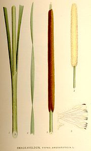 Typha angustifolia.