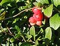 Tyttebær-frugter.JPG