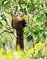 Uncal Ambon (Macropygia amboinensis).jpg