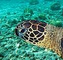 Underwater portrait of green turtle.jpg