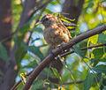 Unknown birds in Maracaibo, Venezuela.jpg