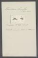 Urceolaria lunifera - - Print - Iconographia Zoologica - Special Collections University of Amsterdam - UBAINV0274 113 21 0027.tif