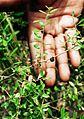 Vacciniummyrsinites.jpg