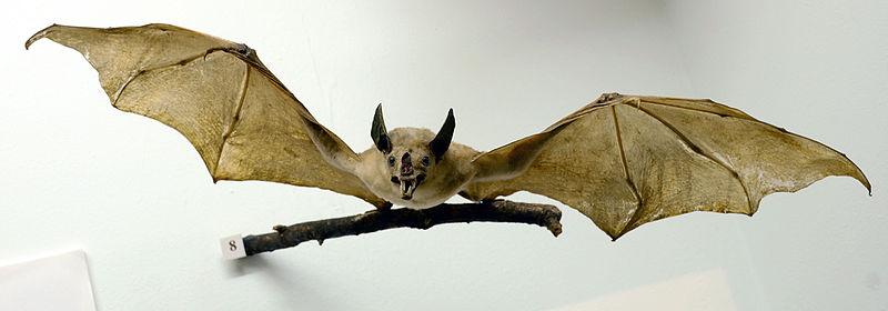 File:Vampyrum spectrum Musée Histoire Naturelle Tournai 27122015 1.jpg