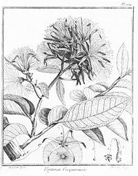 Vantanea guianensis