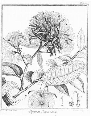 Vantanea guianensis, Illustration.