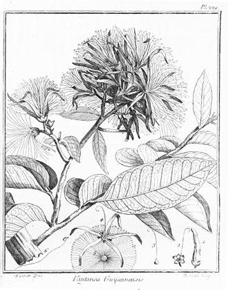 Humiriaceae - Vantanea guianensis