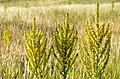 Verbascum speciosum (8420083096).jpg
