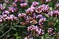 Verbena bonariensis 17zz.jpg