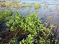 Veronica anagallis-aquatica sl8.jpg