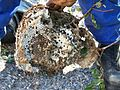 Vespa velutina larves.jpg