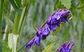 Vicia cracca flowers, vogelwikke bloeiwijze (5).jpg