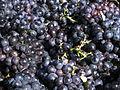 Vigne Pinot noir (Grappes) Cl.J.Weber02 (23569172102).jpg