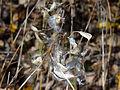 Vincetoxicum rossicum SCA-05232.jpg