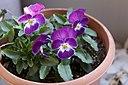 Viola X wittrockiana (Pansy pot), 2-5-'12 - Flickr - odako1