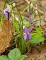 Viola hirta 02.jpg