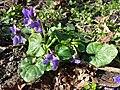 Viola odorata sl19.jpg