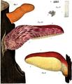 Vittadini - Fistulina hepatica.png